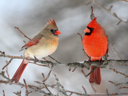 Cardinals are among the birds one can spot up north in the winter.