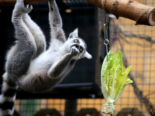 A playful ring-tailed lemur enjoys some romaine lettuce at the Seneca Park Zoo.