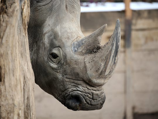 Bill, a white rhino, will be moved into a new habitat