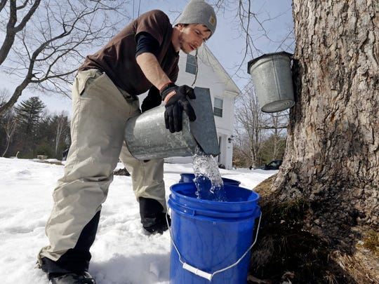 Parker's Maple Barn employee Kyle Gay pours maple tree sap into a larger bucket,