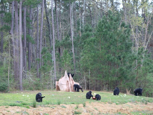 Chimp Haven is now the largest chimpanzee sanctuary in the world following the arrival of five new chimp retirees last week, the Keithville-based refuge announced.