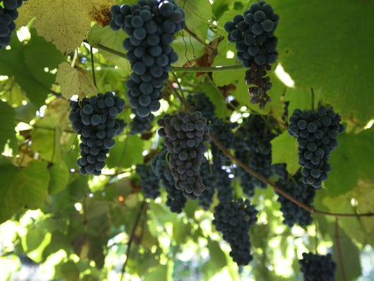 Organic Norton grapes, used to make wine at Laurita