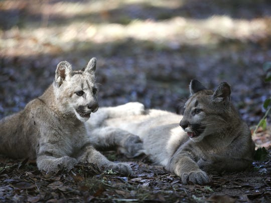 Two female 6-month-old cougar cubs lay in their habitat