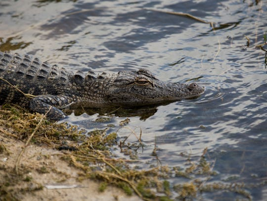 A small alligator hangs out near one of the greens