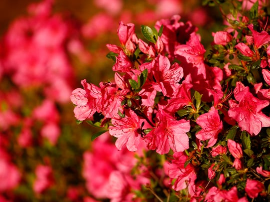 Azaleas are in bloom during the second round of The Masters golf tournament at Augusta National Golf Club.
