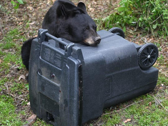 A black bear attempts to get into a bear-resistant garbage can during a demonstration at the Tallahassee Museum on Thursday, May 18, 2017.