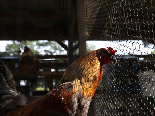 Paul Bradshaw, a local lobbyist in Tallahassee, breeds chickens and works to create a sustainable living concept at his farm in Havana, Fla. on Thursday, May 11, 2017.