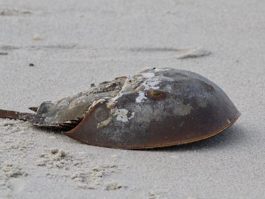 Anyone who spots a horseshoe crab flipped on its back is asked to gently flip the crab over so it can return to the wild.