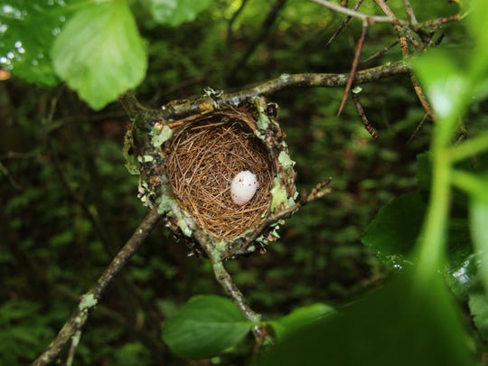 The egg of a neotropical migratory bird nests on Hump Mountain, land recently conserved in the Highlands of Roan.
