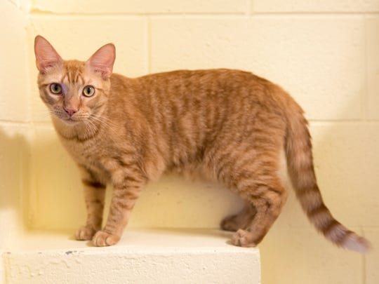 Kirby, a cat with a high degree heart murmur, in the Cozy Care program, is available for adoption at the Humane Society Naples. Someone who adopts a cat in the Cozy Care program will receive supplies and financial support that helps to cover the first year of medical expenses.