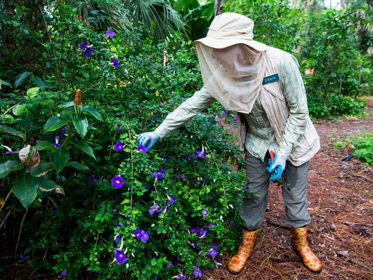Deana Bess checks on a morning glory plant as she walks through her Golden Gate Estates garden on Tuesday, June 20, 2017.  Bess leads gardening workshops and lectures at Food and Thought in Naples.