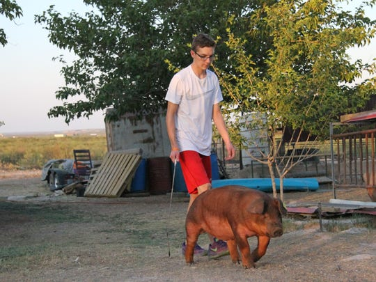 Taylor Martinez walks his pig, Little A, around the front yard of his home. Those showing pigs must train the animal to walk with their head up.