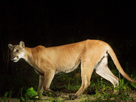 A Florida panther trips a camera trap set up by News-Press photographer Andrew West at the Florida Panther National Wildlife Refuge in June 2016.