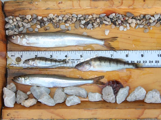 These yellow perch and rainbow smelt were caught in