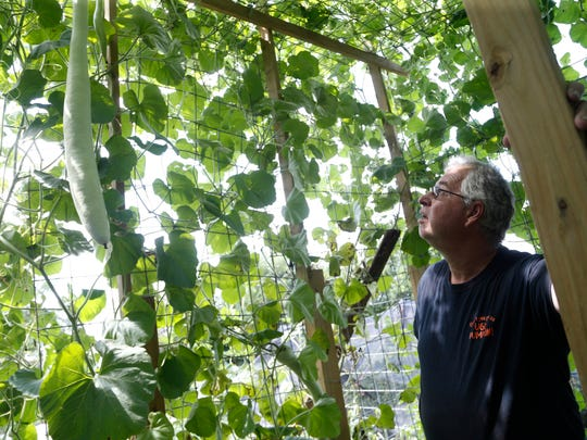 Marty Schnicker looks over a gourd growing in his yard Wednesday, Aug. 9, 2017, at his home near Mount Pleasant. Schnicker grows large vegetables to compete at the Iowa State Fair each year.