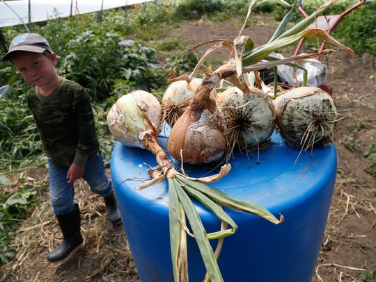 Lucas Schnicker, 4, walks past some onion bulbs Wednesday,