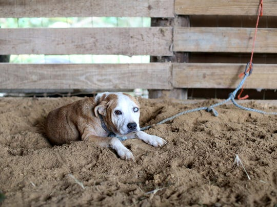 One of seven remaining dogs evacuated from Ocala at Mahan Farm Thursday. During the storm the farm boarded 25 horses evacuated from across the state, at least as many dogs and three chickens.