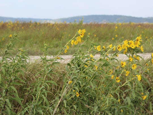 Sunflowers bloom on grasslands north of Missouri Valley near the Loess Hills. This land is part of the state's Iowa Habitat Access Program, which provided funding to landowners to create habitat in return for allowing hunting on their land.