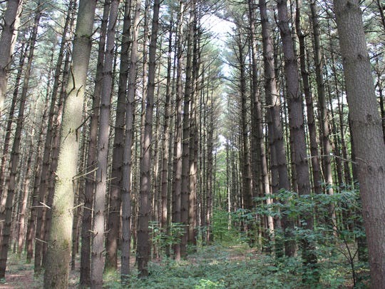 Rows of planted pines stand in Mohican-Memorial State