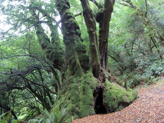 One of the world's largest myrtle trees, seen here, is located on Myrtle Tree Trail in southwest Oregon east of Gold Beach.