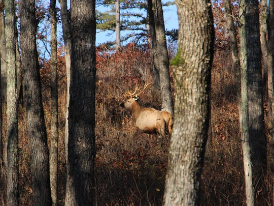 A bull elk roams the forest at Peck Ranch Conservation Area near Winona, where elk were reintroduced in 2011.