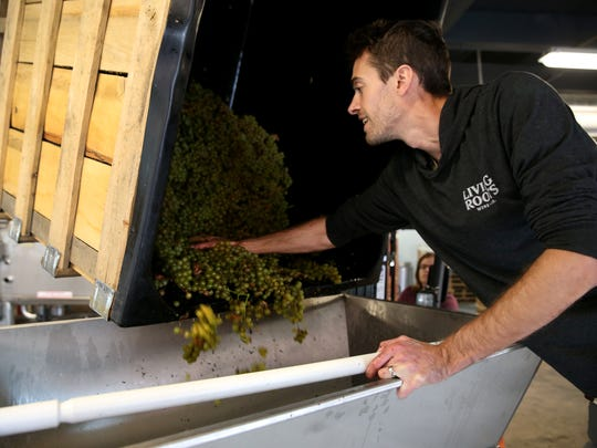 Sebastian Hardy pushes Traminette grapes from the Finger Lakes into a crusher in their winery room at Living Roots in Rochester.
