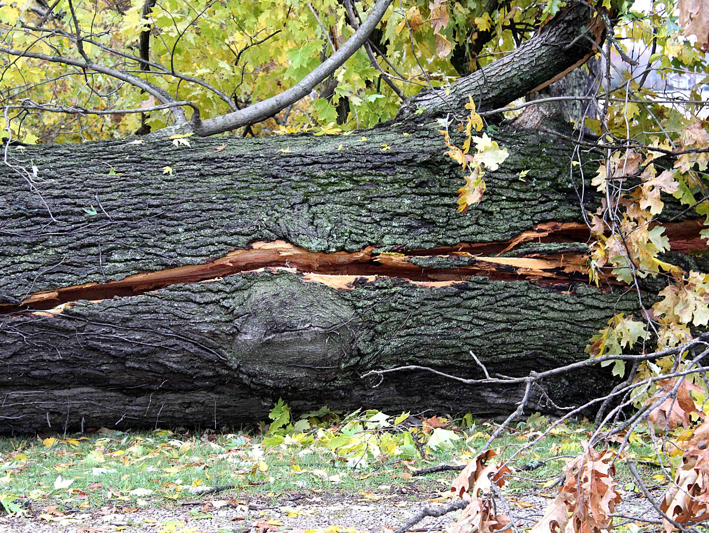 One of the massive oak trees that fell onto the Wrights' vehicle during a storm in November is seen the morning after the accident.