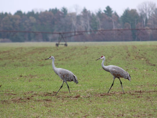 Use of the seed treatment bird repellent Avipel, supplied by Bio-Resources of Manitowoc, is recommended as an abatement practice for sandhill cranes.