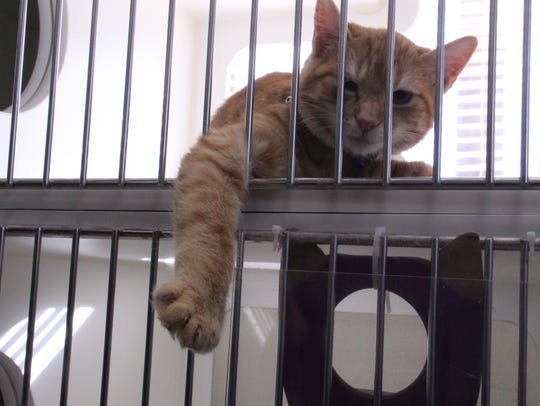 Lucy, a cat at the Salinas Animal Shelter, was feeling