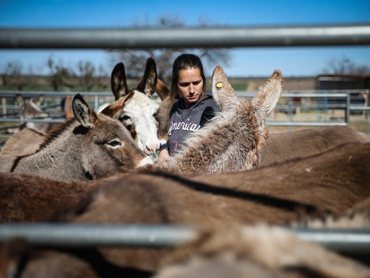 Ayrn Nealey picks a donkey for training Friday, Jan. 12, 2018, at Peaceful Valley Donkey Rescue in San Angelo.