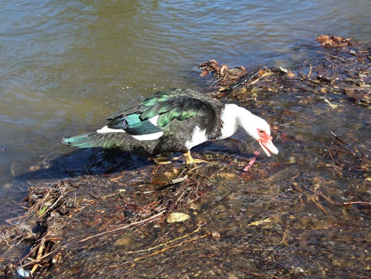 A bird foraging for food near discarded plastic objects in the East Kings Highway duck pond in Shreveport.