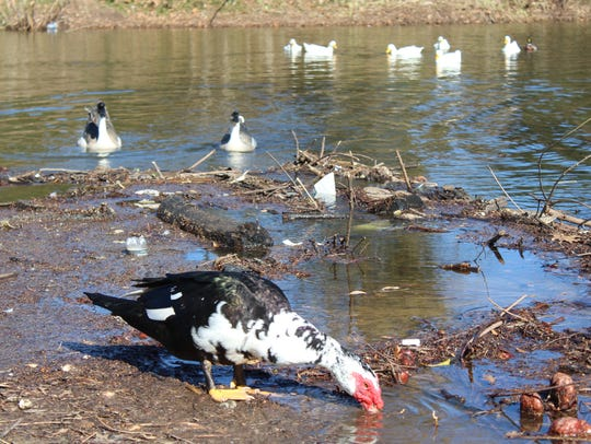 An assorted array of waterfowl foraging for food in a littered section of the East Kings Highway duck pond in Shreveport.