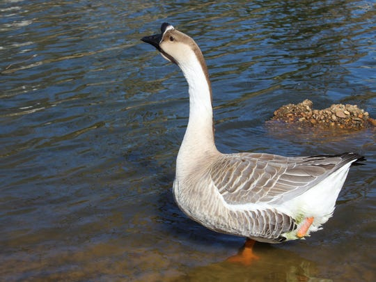 A goose that has lost its leg after being caught in discarded fishing line at the East Kings Highway duck pond in Shreveport.