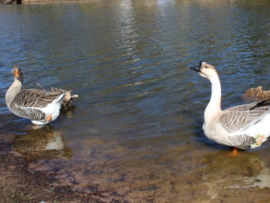 Two geese, each missing a leg, at the duck pond along East Kings Highway in Shreveport.