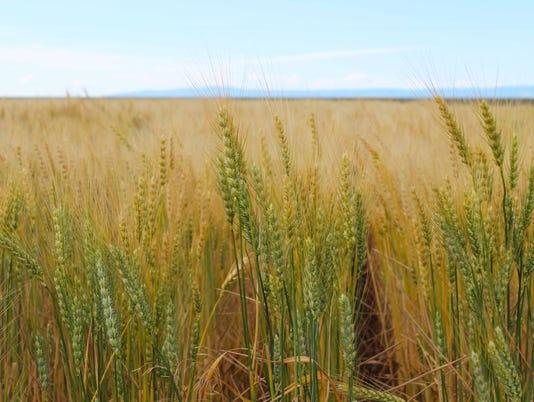 636549874984099372-springwheat.jpg