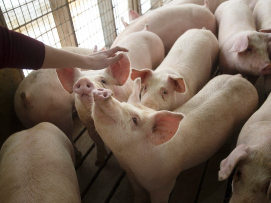 Trent Thiele pets the pigs at his 2,400-head concentrated animal feeding operation near Elma, Iowa.