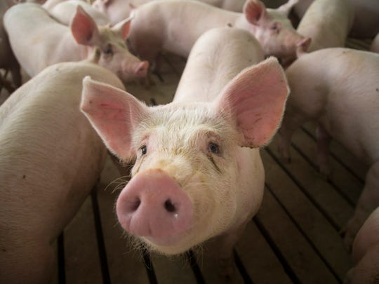 2400 Pigs fill a concentrated animal feeding operation