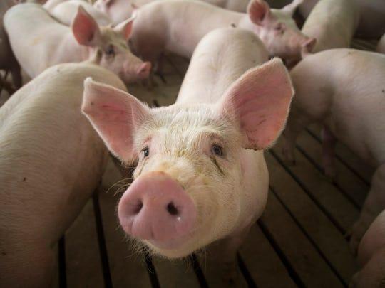 2400 Pigs fill a concentrated animal feeding operation near Elma, Iowa Wednesday, Feb. 21, 2018.