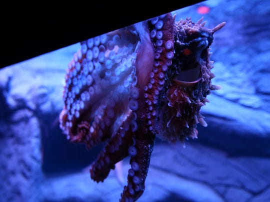 The Giant Pacific Octopus, pictured, Wednesday, March
