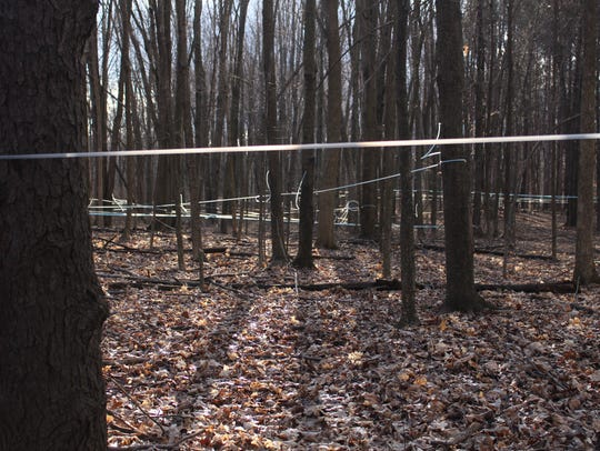 Hundreds of feet of vacuum lines crisscross a grove