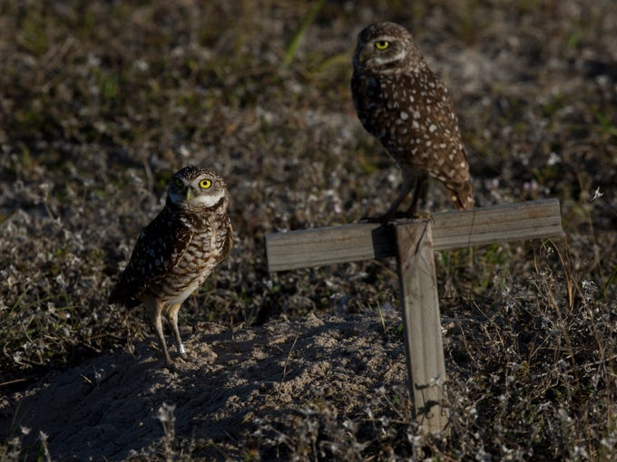 A pair of mating burrowing owls emerge from their burrow