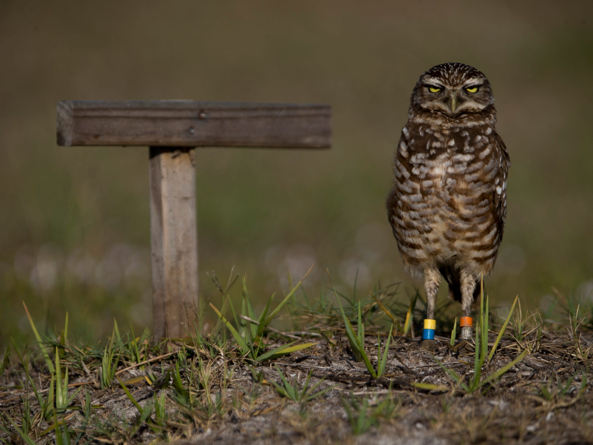 A burrowing owl, with multiple colored bands around its legs, scans its surroundings outside of its burrow Thursday, March 1, 2018 in Marco Island.