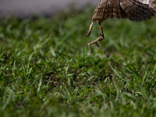 A burrowing owl retrieves the hind legs of a frog, a kill that was most likely leftover from a previous hunt, Thursday, March 1, 2018 in Marco Island.