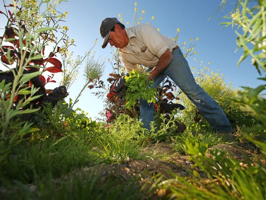 "Manuel Corrales harvests vegetables at the ""Spaces of Opportunity"" an 18-acre farm and community garden in partnership with the Desert Botanical Garden, which is a member of the Maricopa County Food System Coalition."