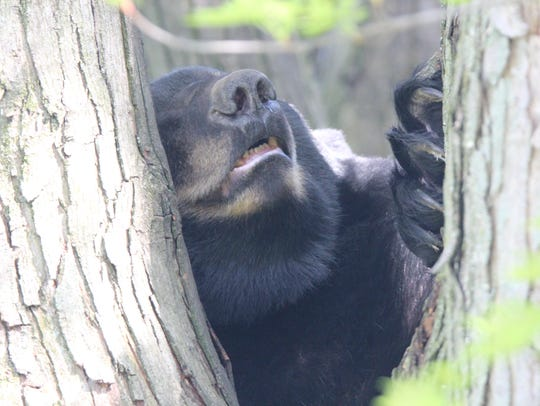 A black bear visited a Shippensburg area development