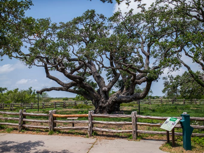 The Big Tree at Goose Island State Park on Wednesday,