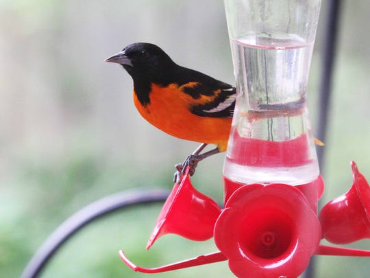 When natural foods are limited, Baltimore orioles will