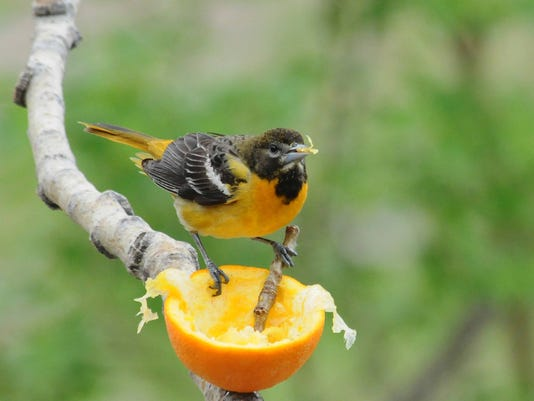 for the birds why are we seeing orioles at hummingbird feeders