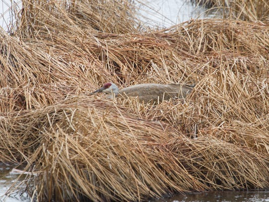 Nesting sandhill crane in Yellowstone National Park.