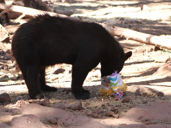 One of Bearizona's residents happily digs into a treat